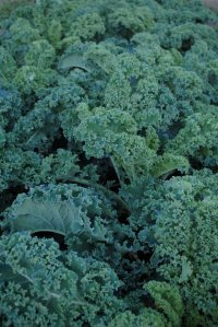 Curly kale in the field