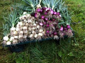 A mountain of freshly dug onions