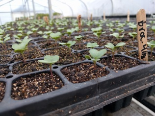 Broccoli seedlings with their first set of leaves
